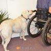 BLD's Quick Release wheelchair leash for service dog at proper length to go through a door.